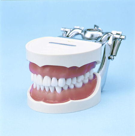 Descubra o que cada dente faz durante a mastigação  Um adulto com uma dentição permanente completa (com os sisos)